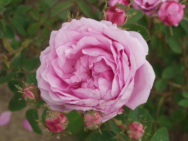 F te de la rose f te de la rose - Fete de la rose gerberoy ...