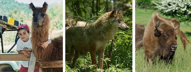 rencontre loup mercantour
